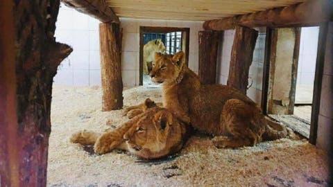 """Leii de la Grădina Zoologică din Chişinău au fost """"botezați"""": Iată ce nume vor purta"""