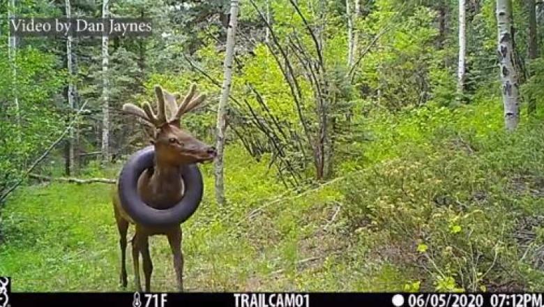 ( VIDEO) Operațiune inedită de salvare a unui elan care avea o anvelopă blocată la gât de cel puțin doi ani