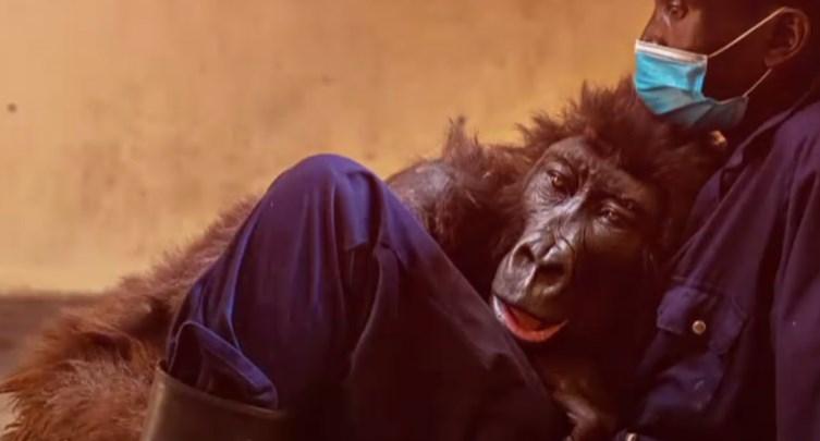 (VIDEO) Ndakazi, gorila făcută celebră de un selfie, a murit. Avea 14 ani și s-a stins în brațele celui care a îngrijit-o toată viața