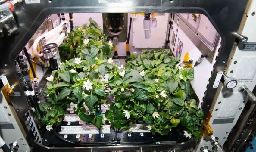 """Niște astronauți au reușit să crească ardei iuți în cosmos: """"Houston, avem piper"""""""