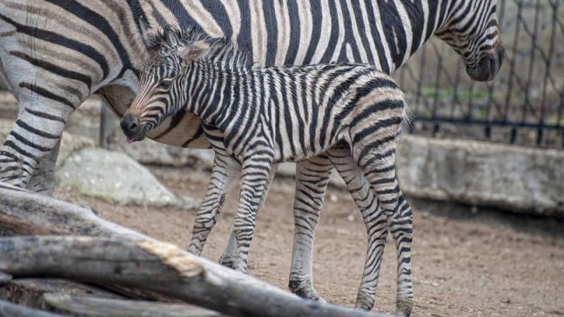 (foto) Un pui de zebră s-a născut la Grădina Zoologică din Chișinău: Femela poate fi admirată de vizitatori